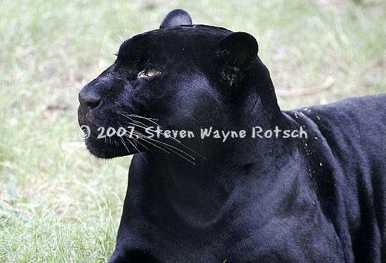 http://www.stevenrotsch.com/Memphis%20Zoo%202005%20HTML/picture%20889%20black%20panther_std.jpg